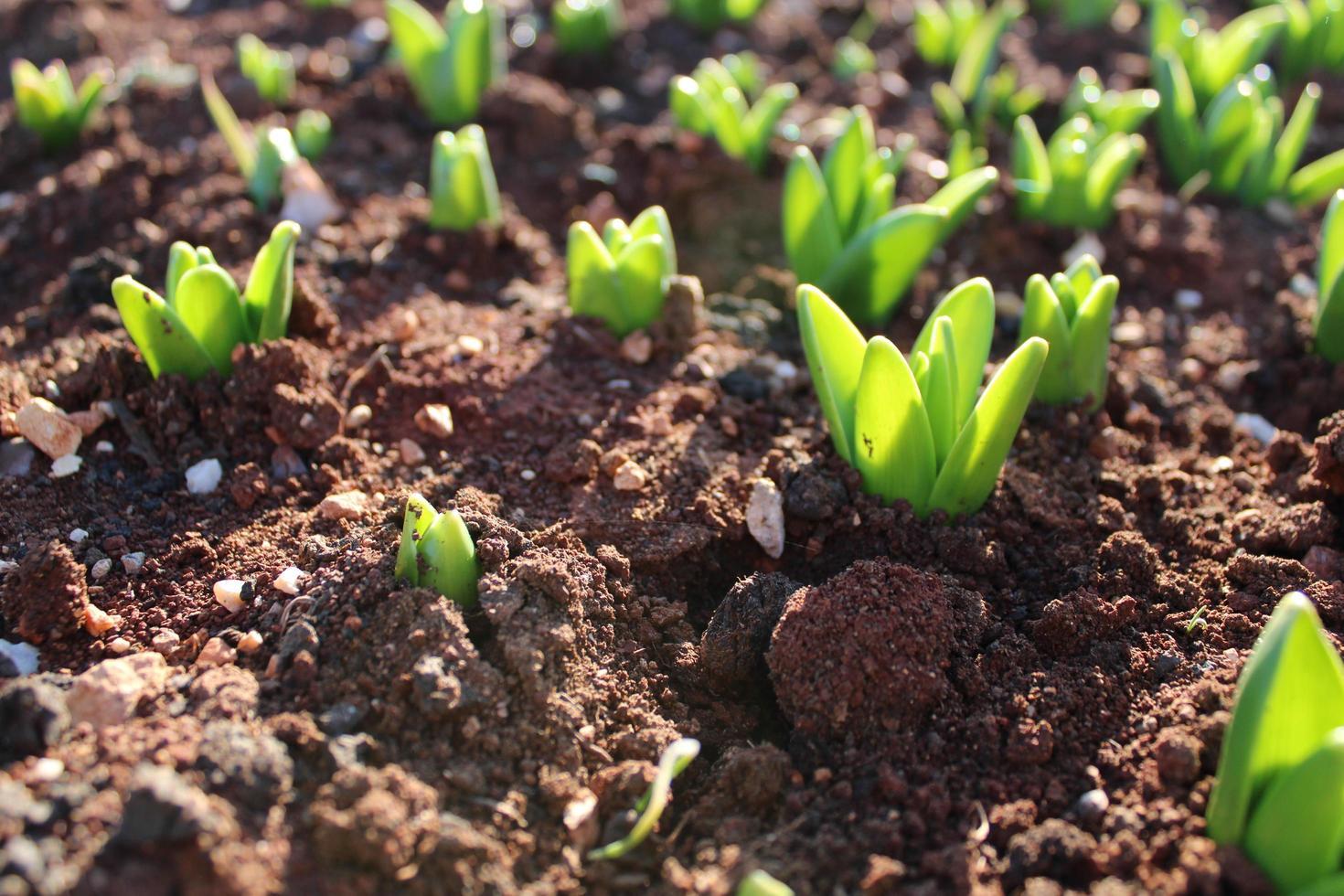 germogli di piante e piante giovani con dettagli macro foto
