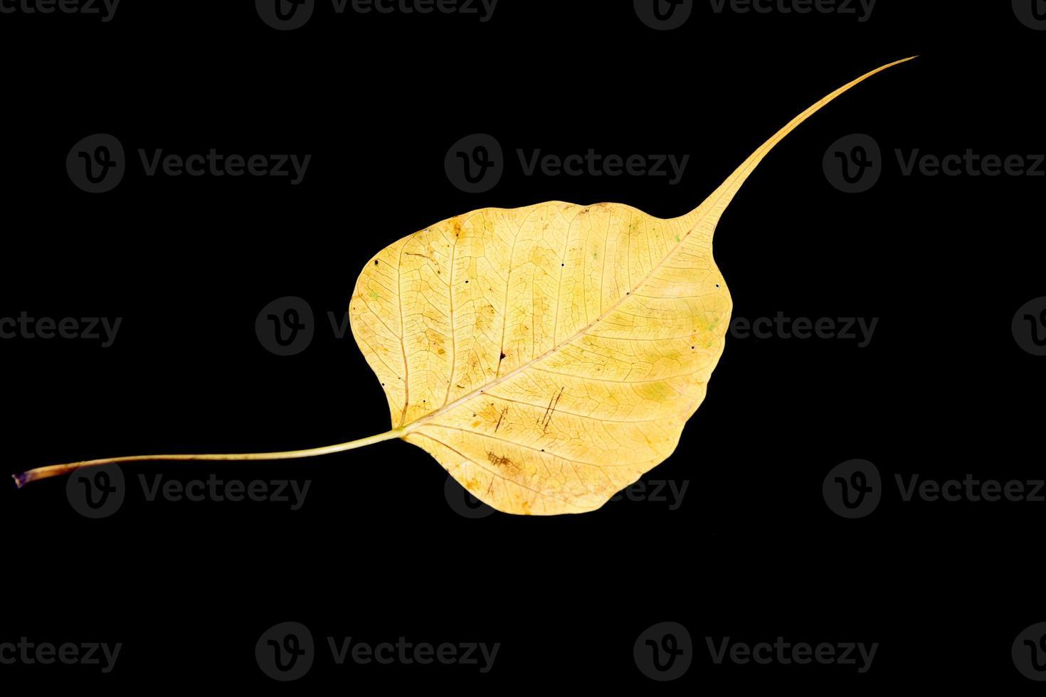 danneggiato vena foglia di bodhi giallo su sfondo nero foto