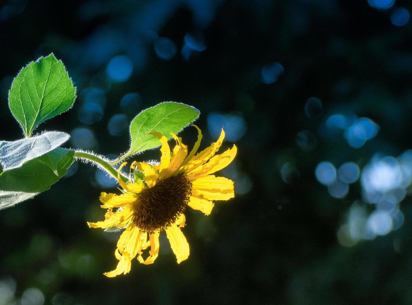 un girasole retroilluminato con sfondo verde sfocato foto