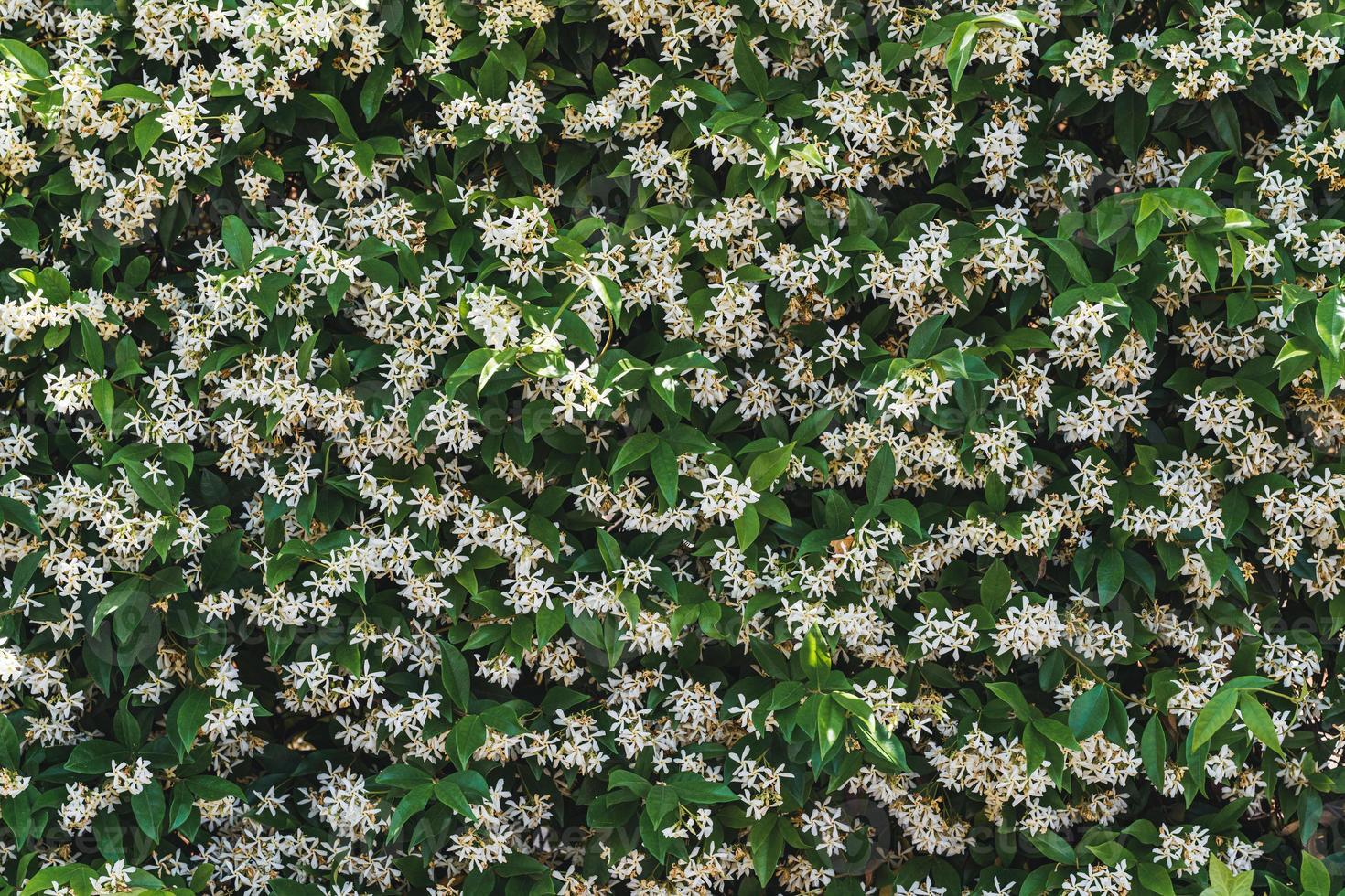 fiori bianchi tra le foglie verdi del gelsomino stellato foto