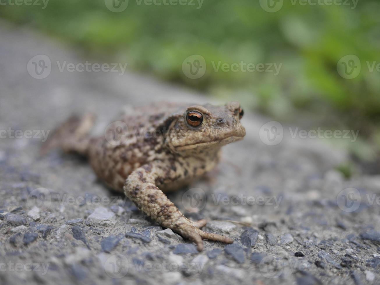 primo piano della rana o del rospo guardando la telecamera foto