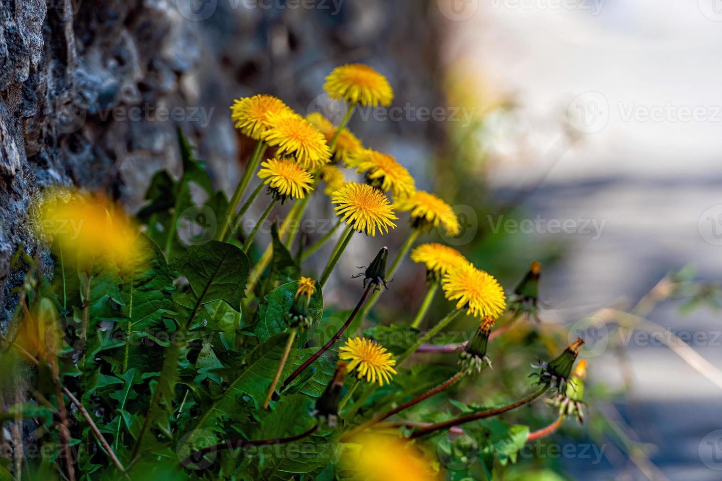 un sacco di denti di leone gialli su uno sfondo sfocato foto