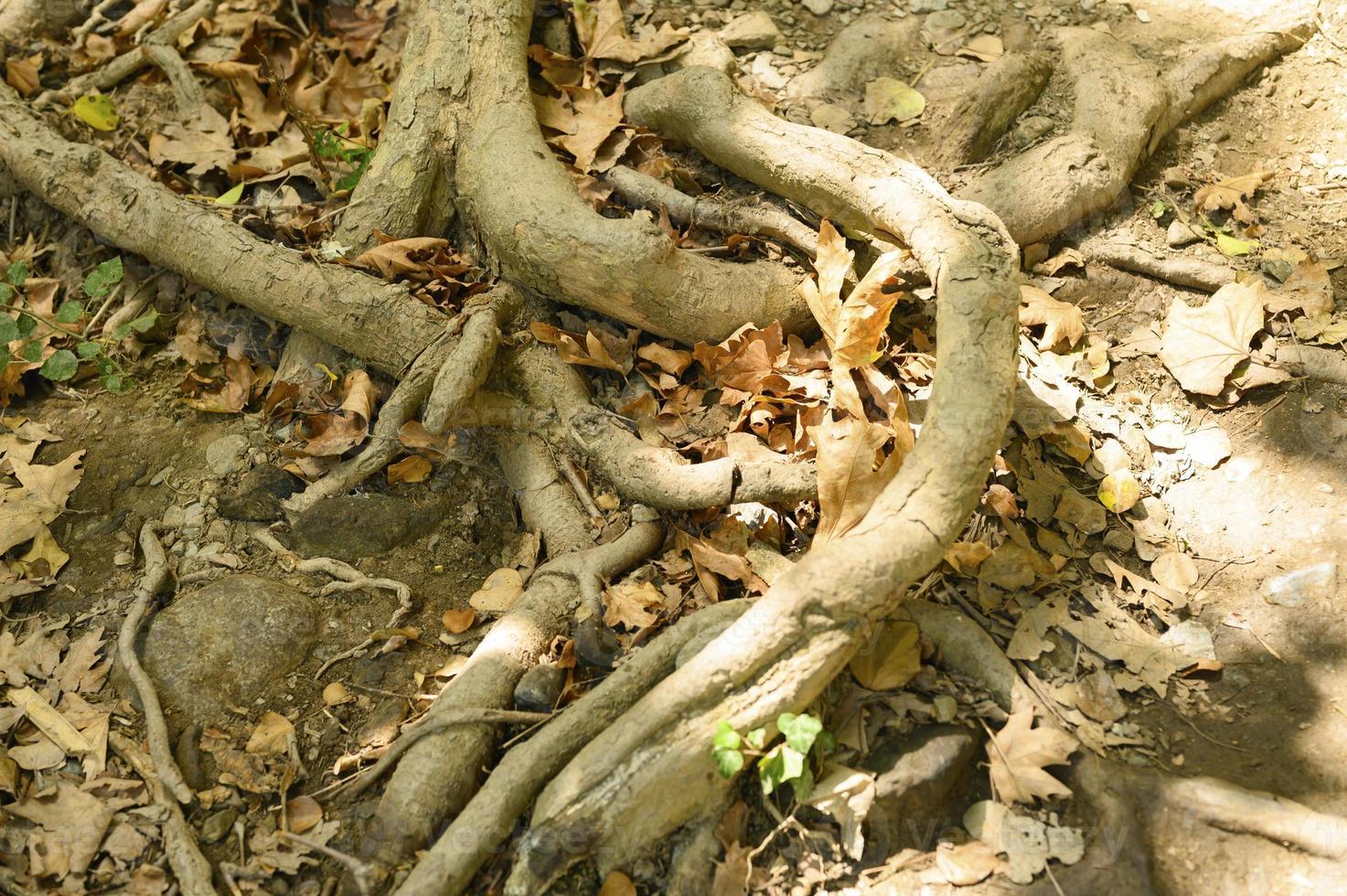 radici nude degli alberi che sporgono dal terreno nelle scogliere rocciose in autunno foto