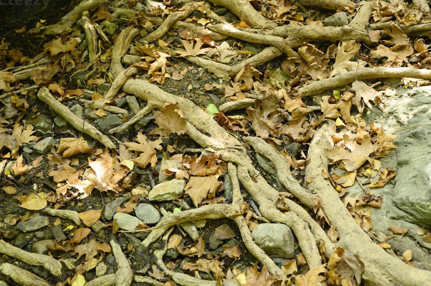 radici nude degli alberi che sporgono dal terreno in scogliere rocciose e foglie cadute in autunno foto