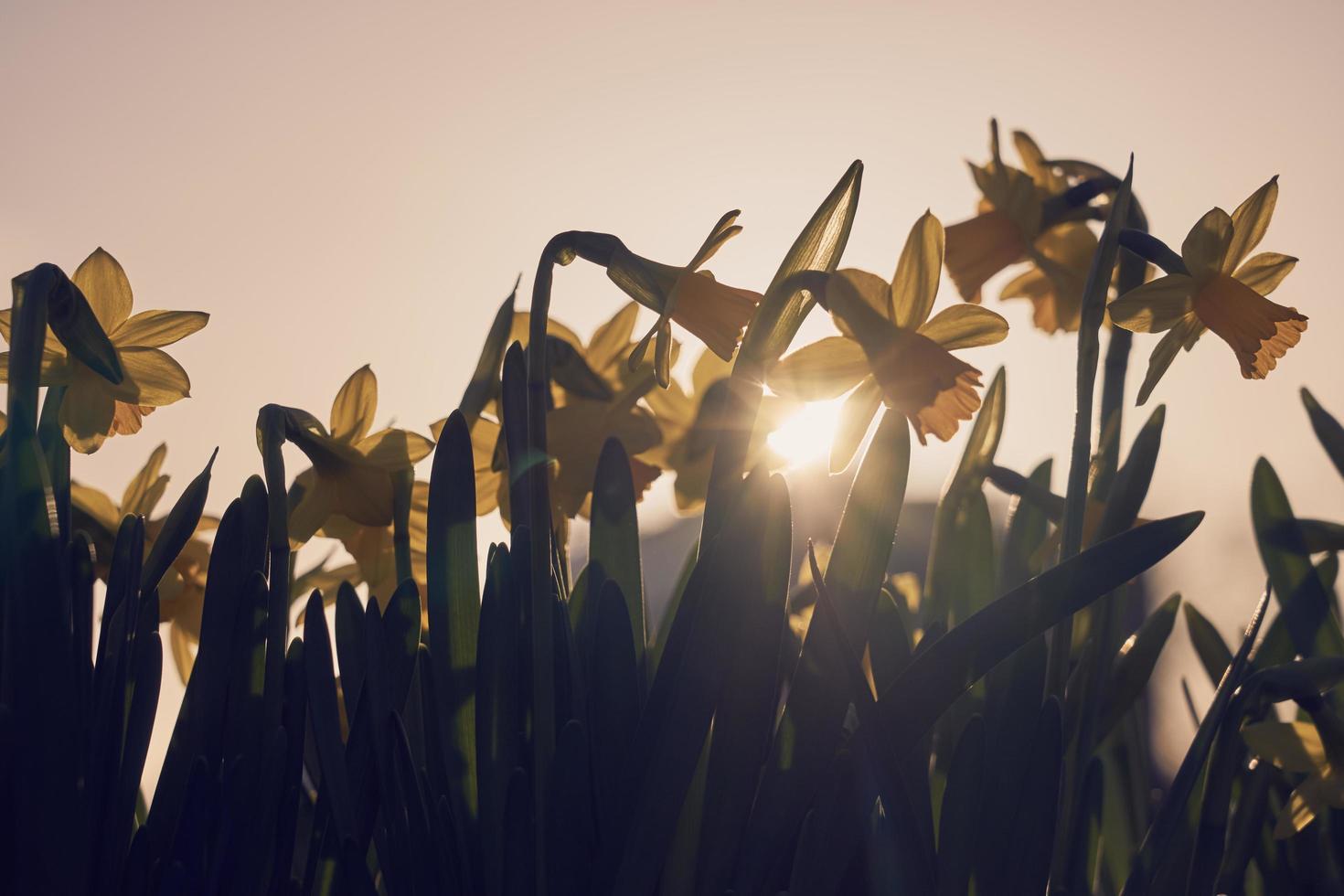 narciso giallo in primavera foto