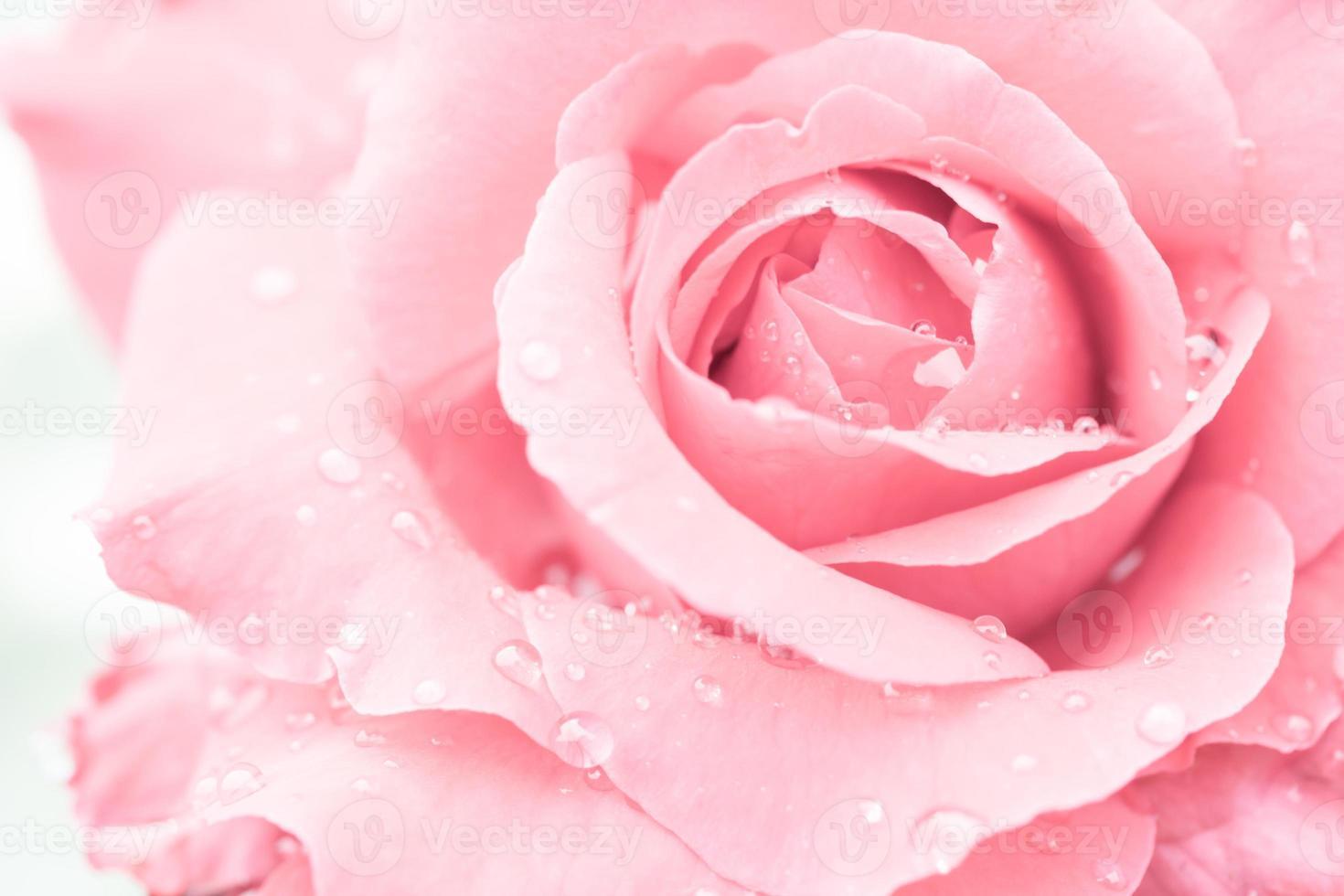 primo piano di una rosa rossa con gocce d'acqua foto