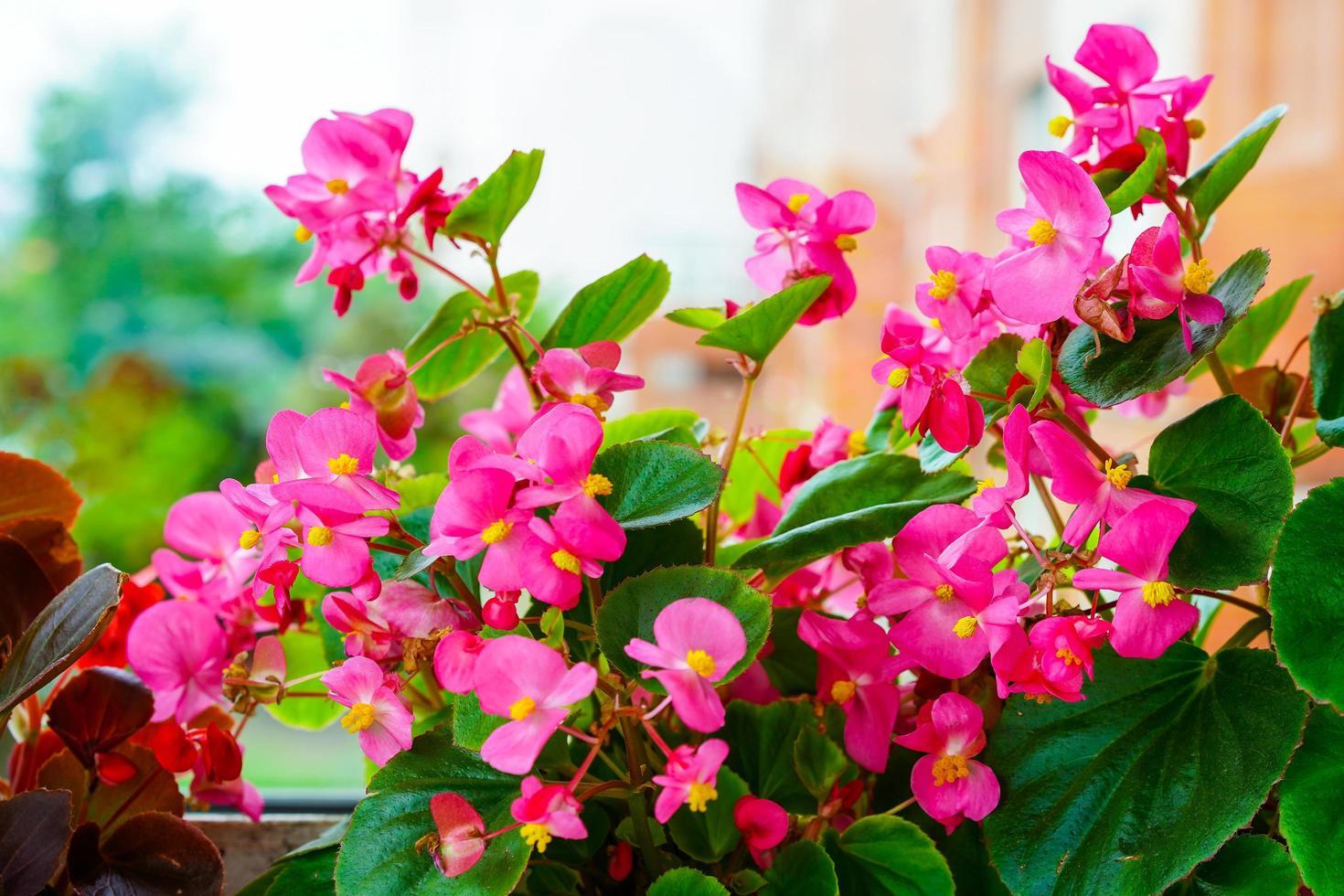 fiori di begonia rosa sul davanzale di una finestra foto
