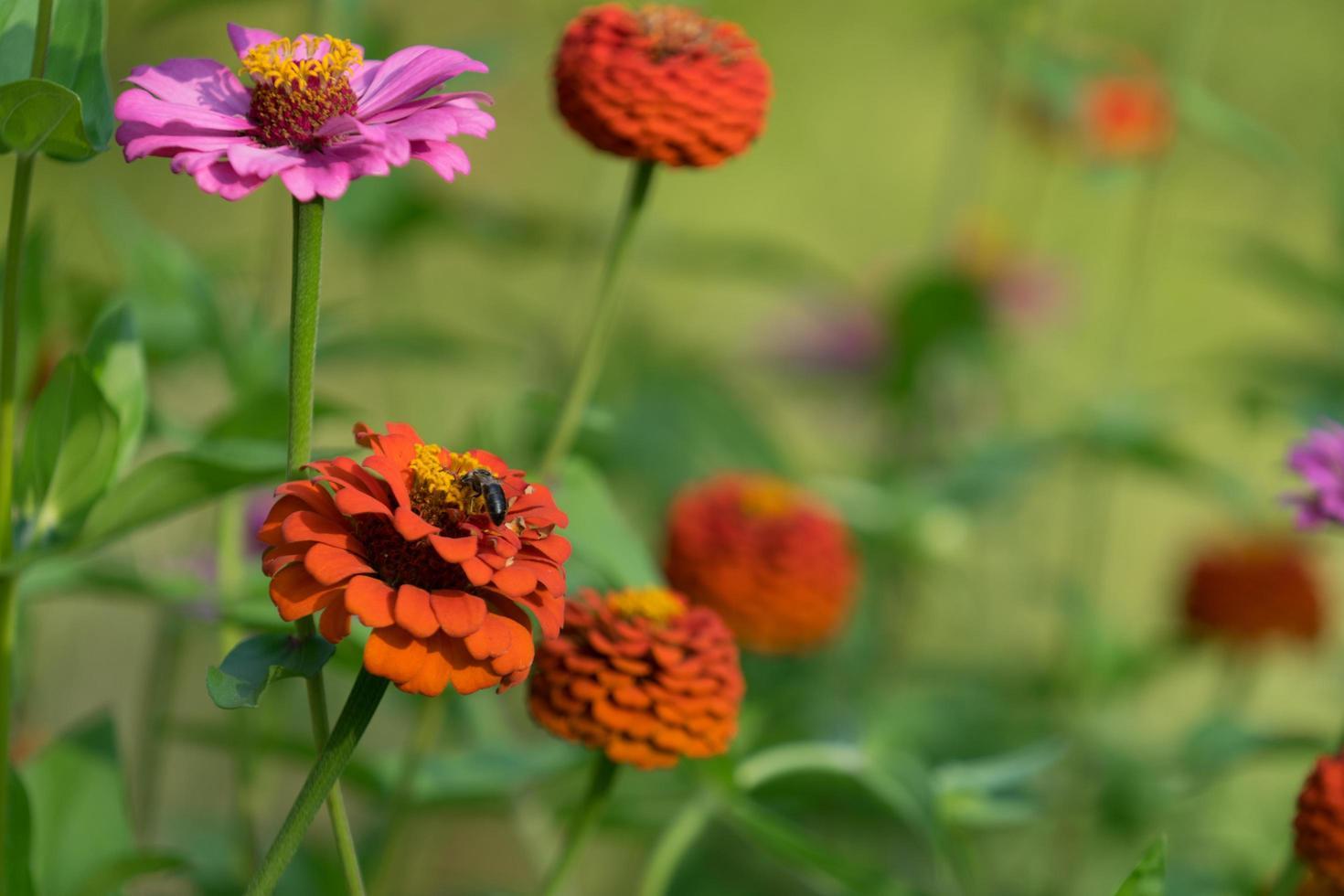 ape tra i fiori colorati di zinnia foto