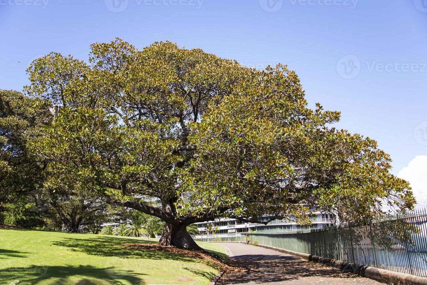 Moreton Bay Fig su una passerella a Sydney, in Australia foto