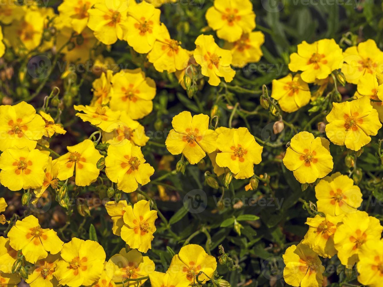 fiori gialli di helianthemum foto