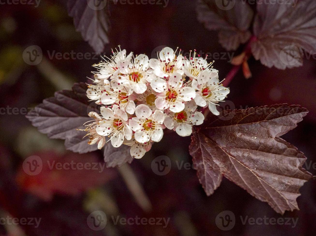 fiori bianchi di nove corteccia foto