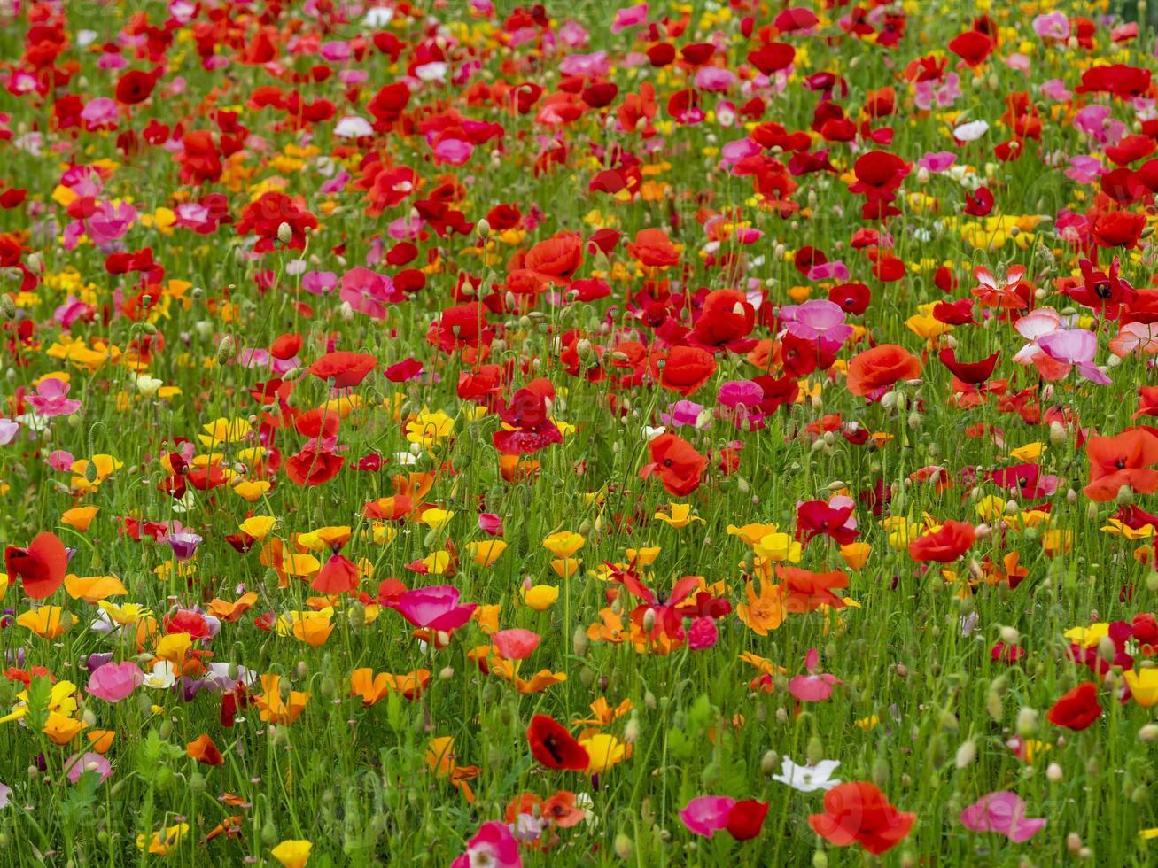 papaveri misti colorati in un giardino estivo foto