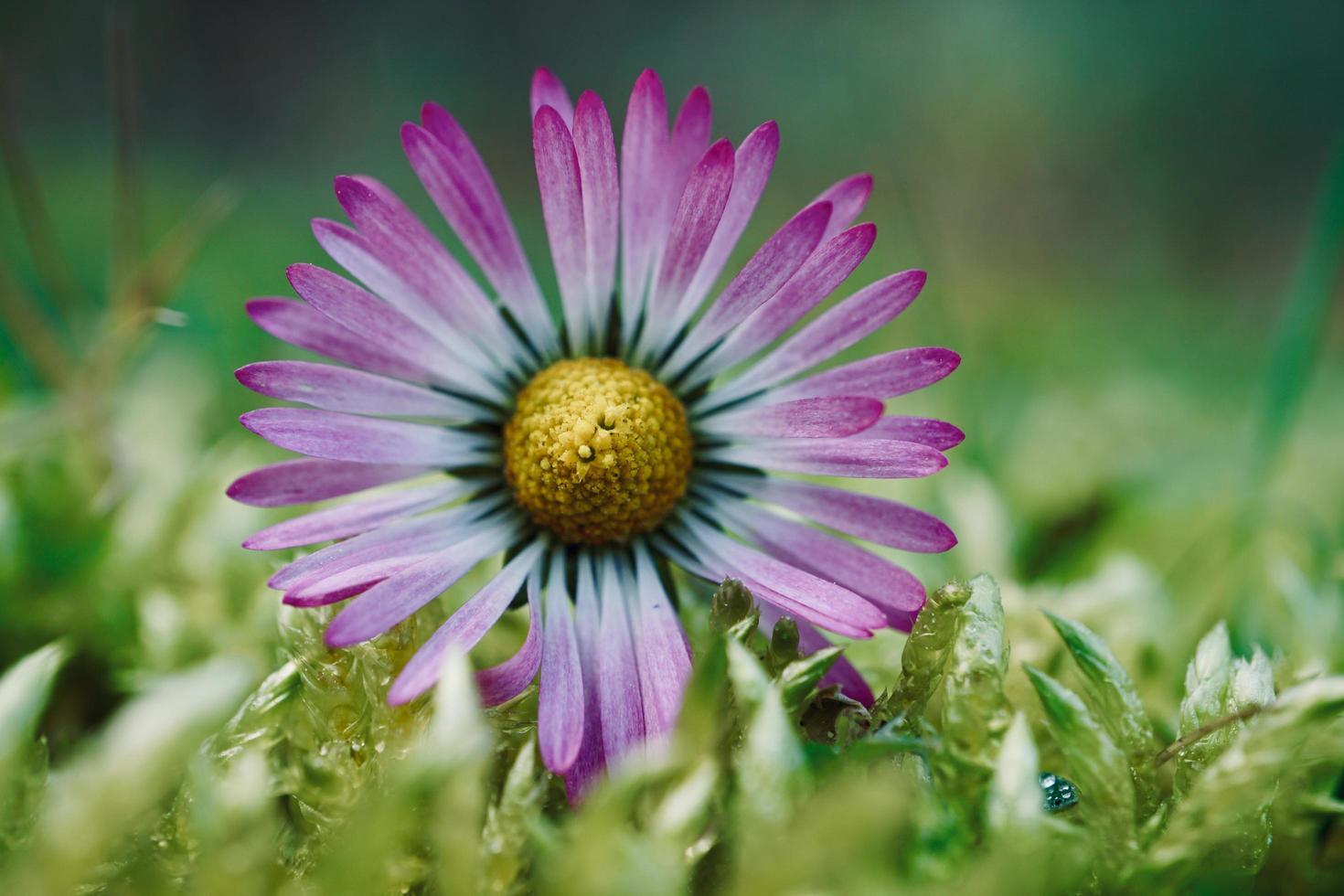 bellissimo fiore margherita nella stagione primaverile foto