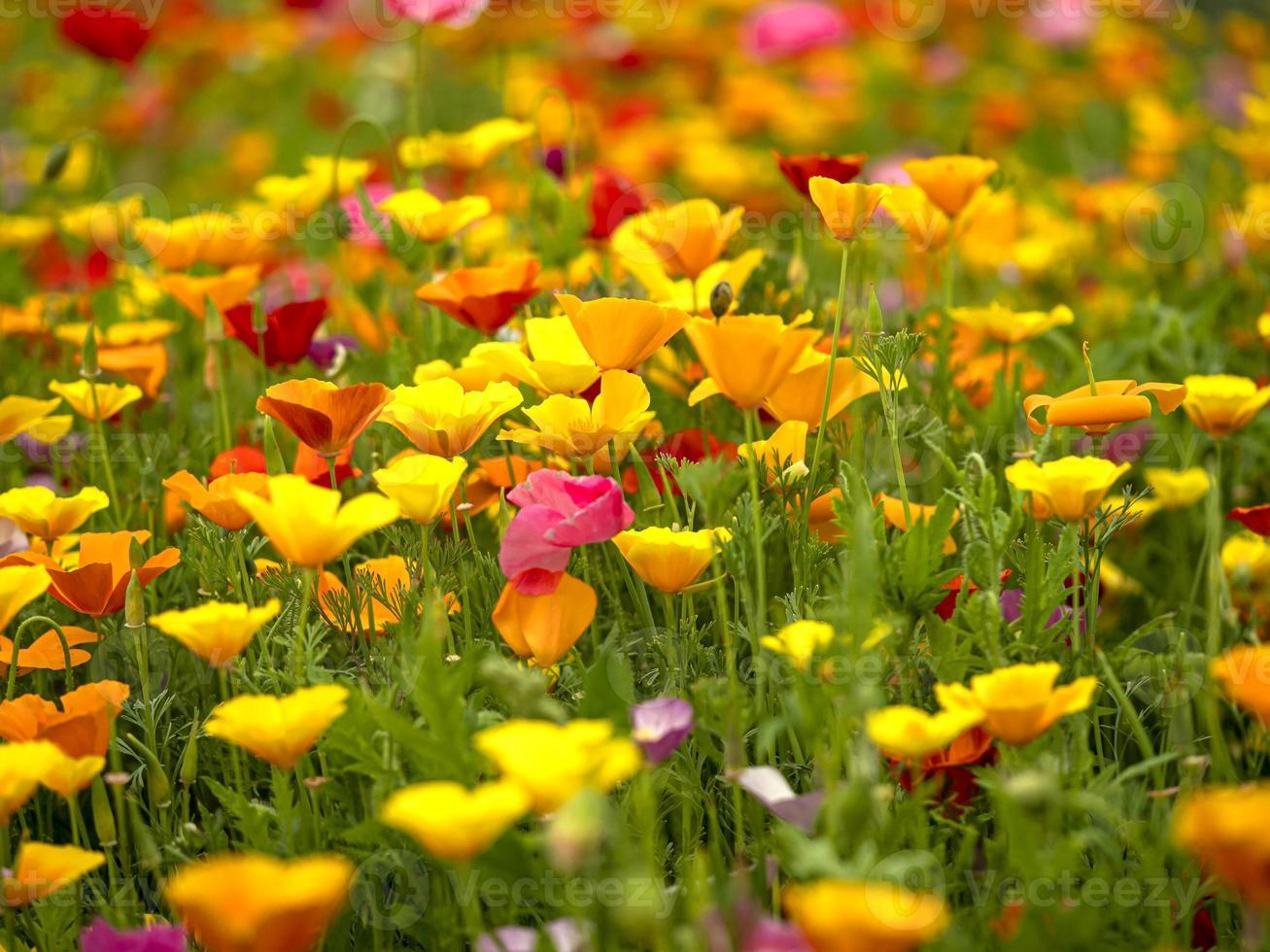 campo di fiori misti di papavero foto