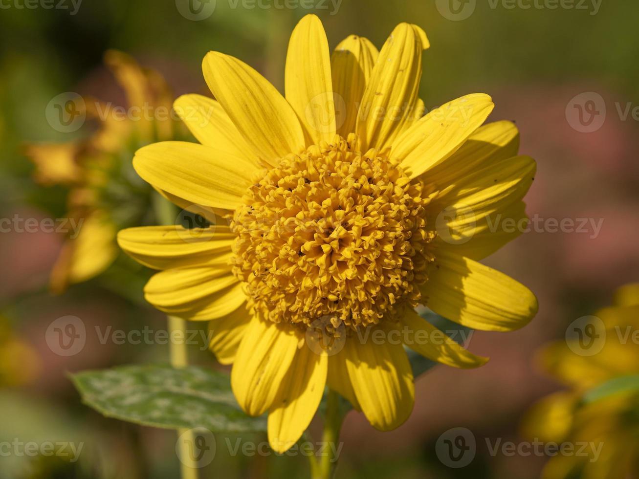 fiori gialli di Helianthus capenoch supreme foto