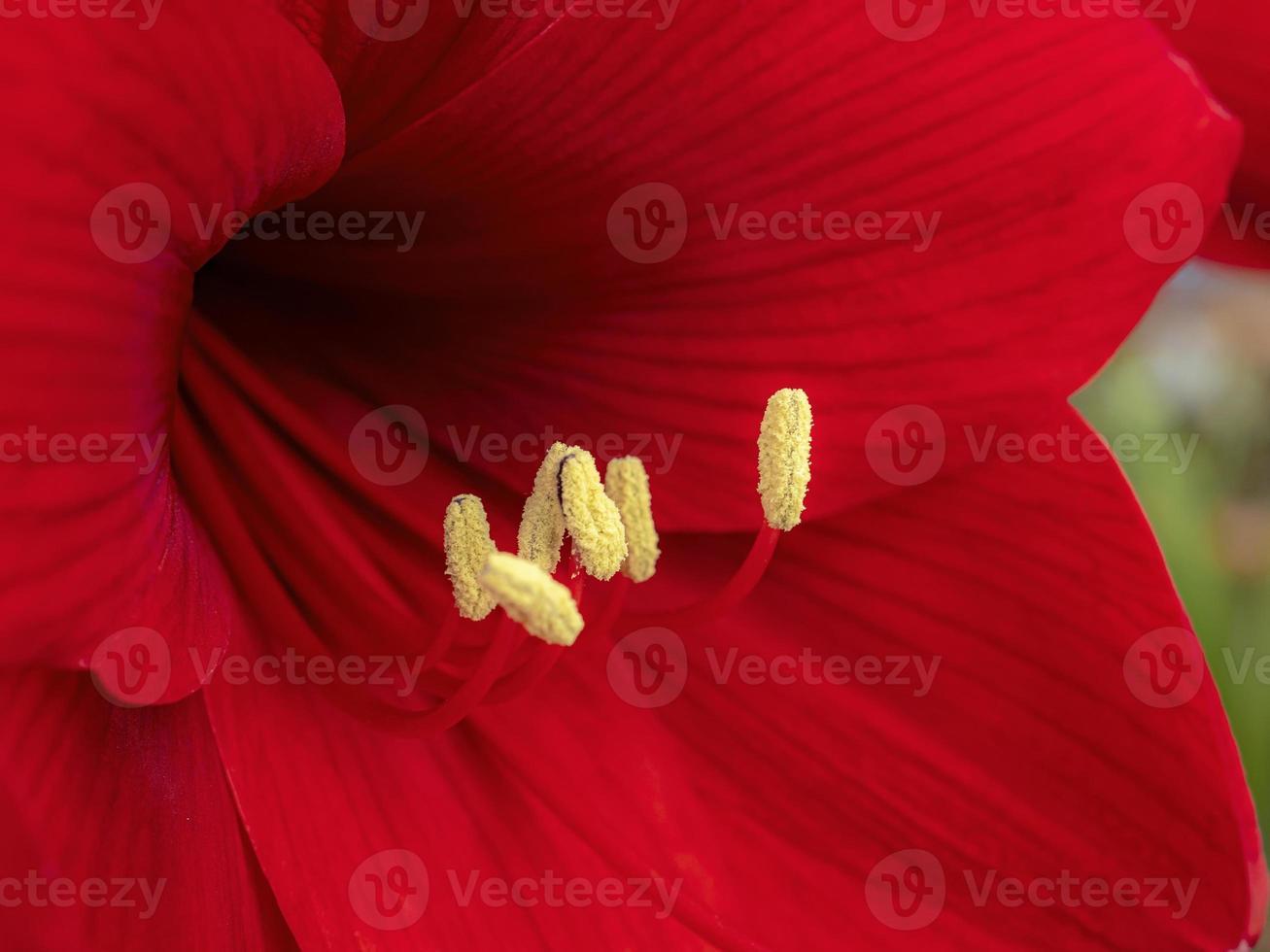 fiore di amarilli rosso foto