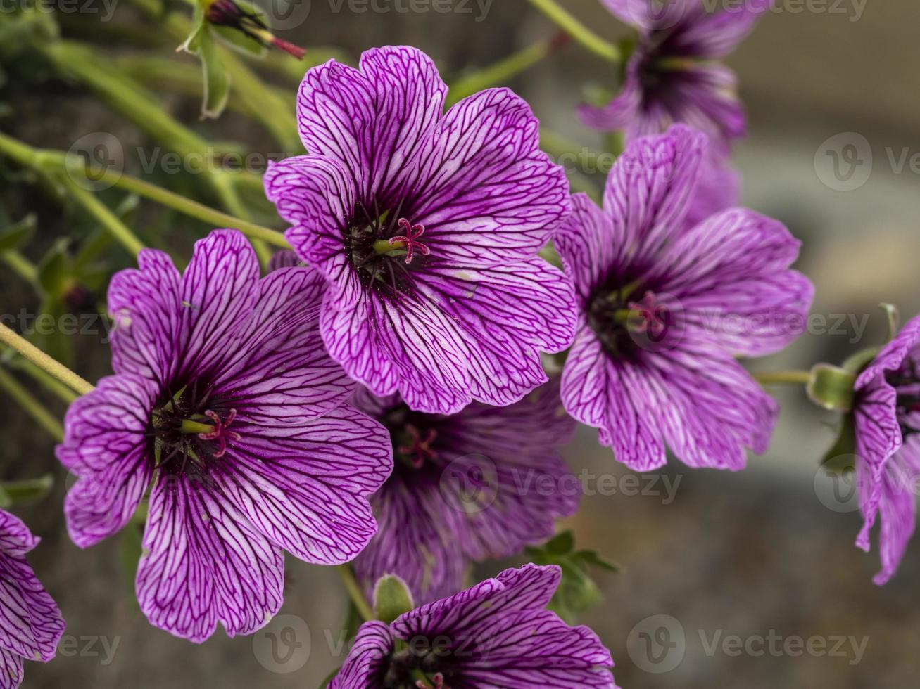 fiori di geranio cranesbill viola foto