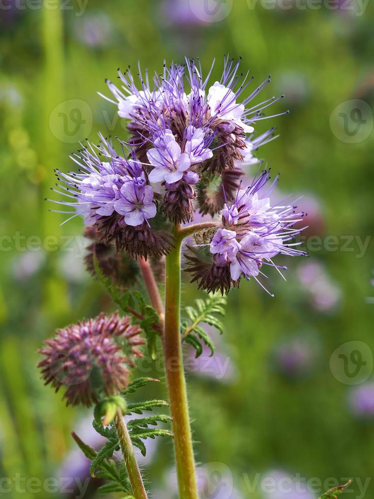 viola lacy phacelia fiori in un giardino foto