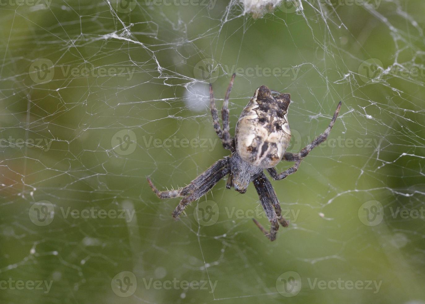 cyrtophora citricola, noto anche come ragno della tela da tenda tropicale, è un ragno araneide foto