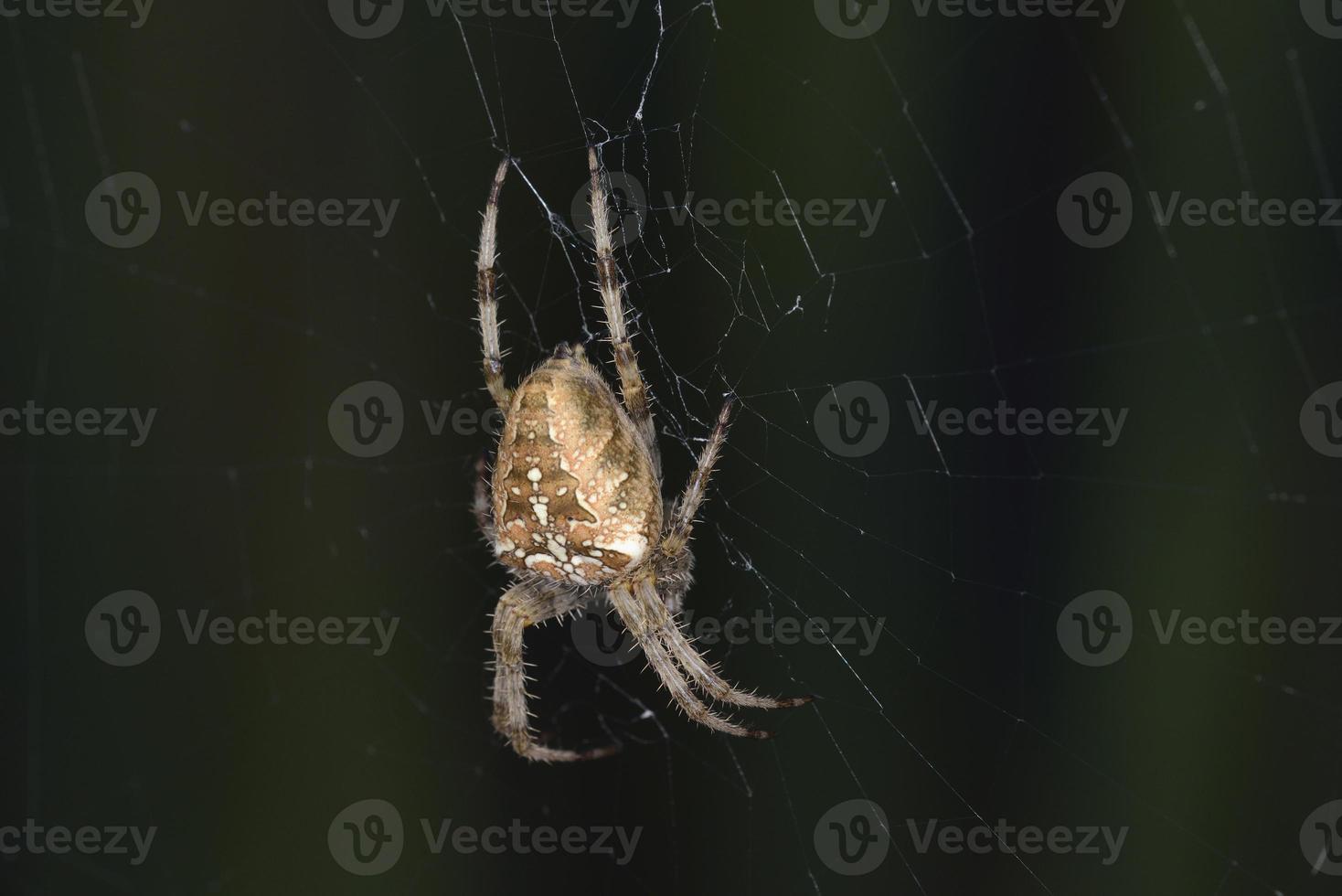 araneus diadematus spider, grecia foto