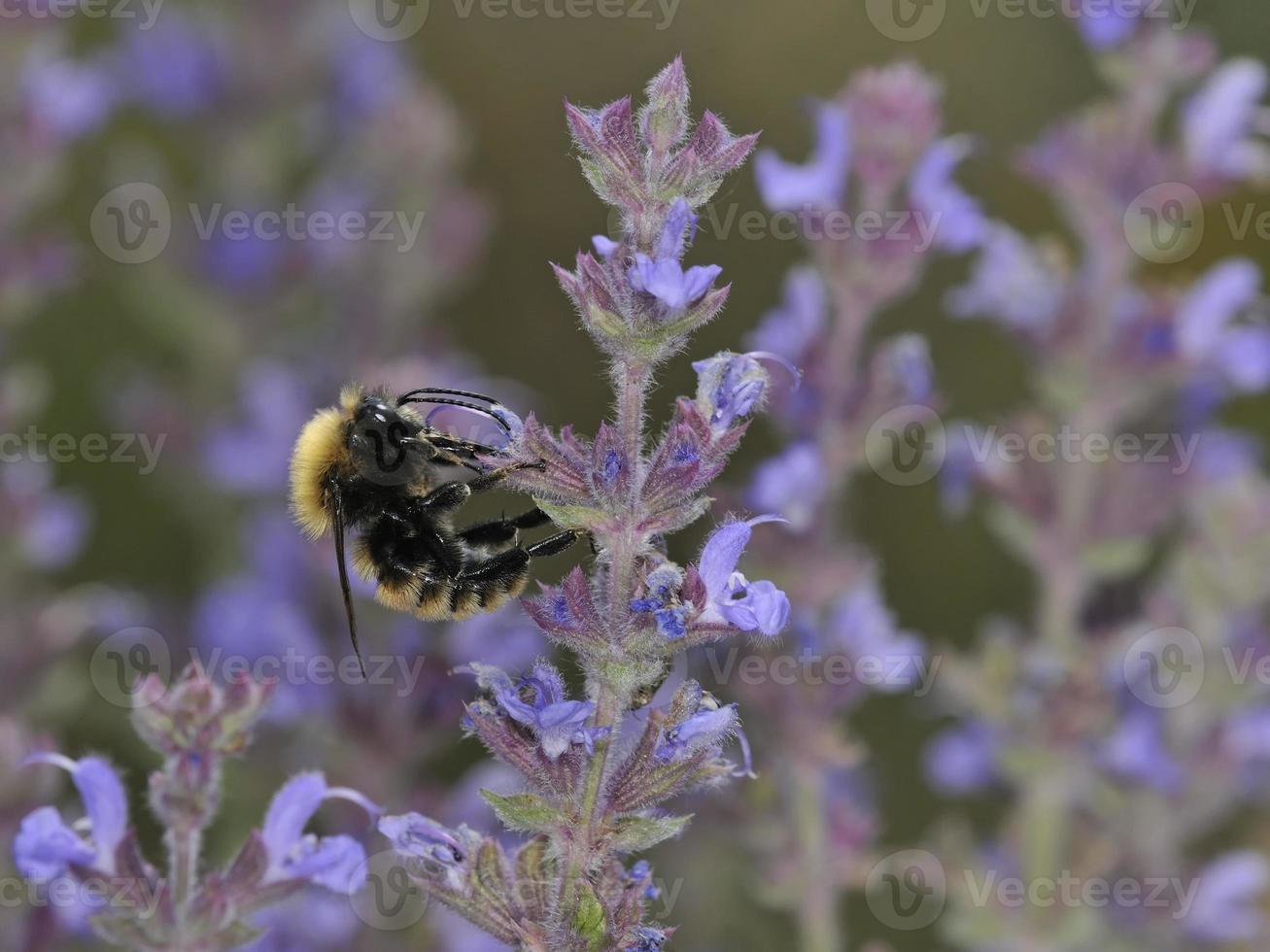 bombus pascuorum, l'ape carda comune, è una specie di calabrone, grecia foto