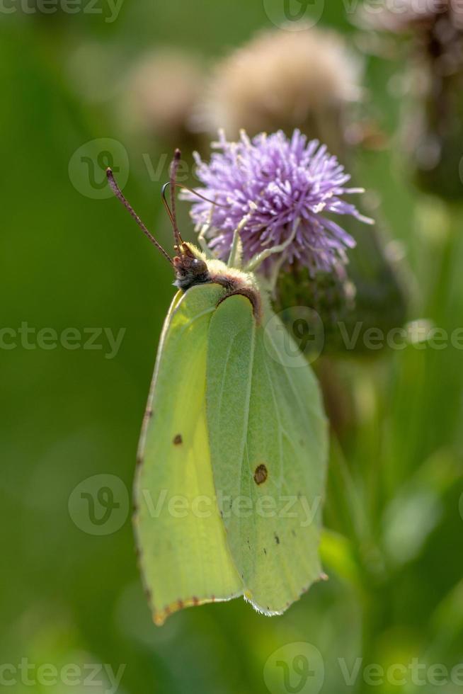 primo piano dettagliato di una farfalla di zolfo foto