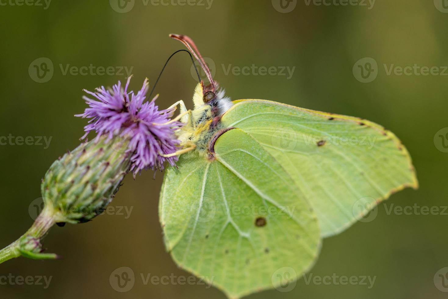 primo piano di una farfalla di zolfo foto