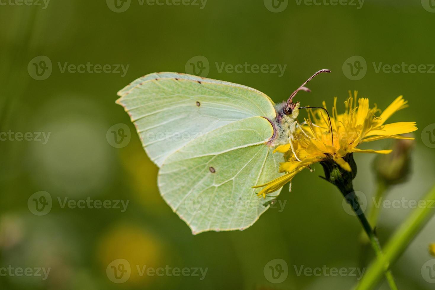 farfalla di zolfo seduto su un fiore giallo foto