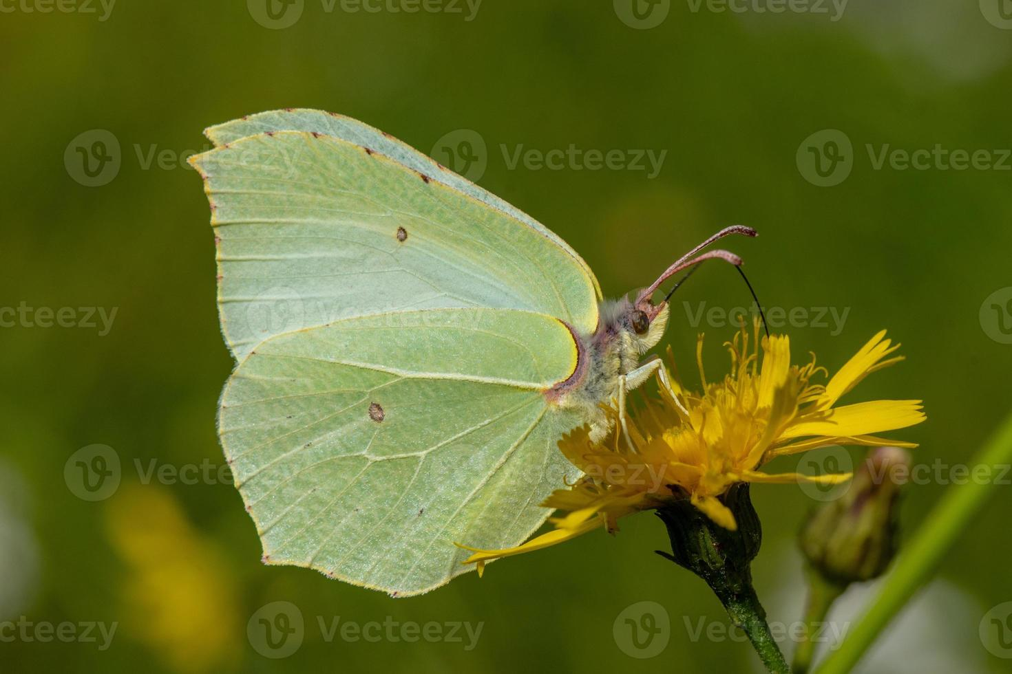 primo piano della farfalla di zolfo foto