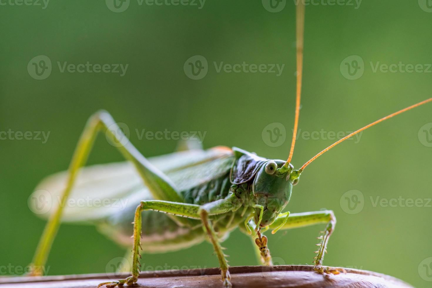 primo piano di un cricket foto