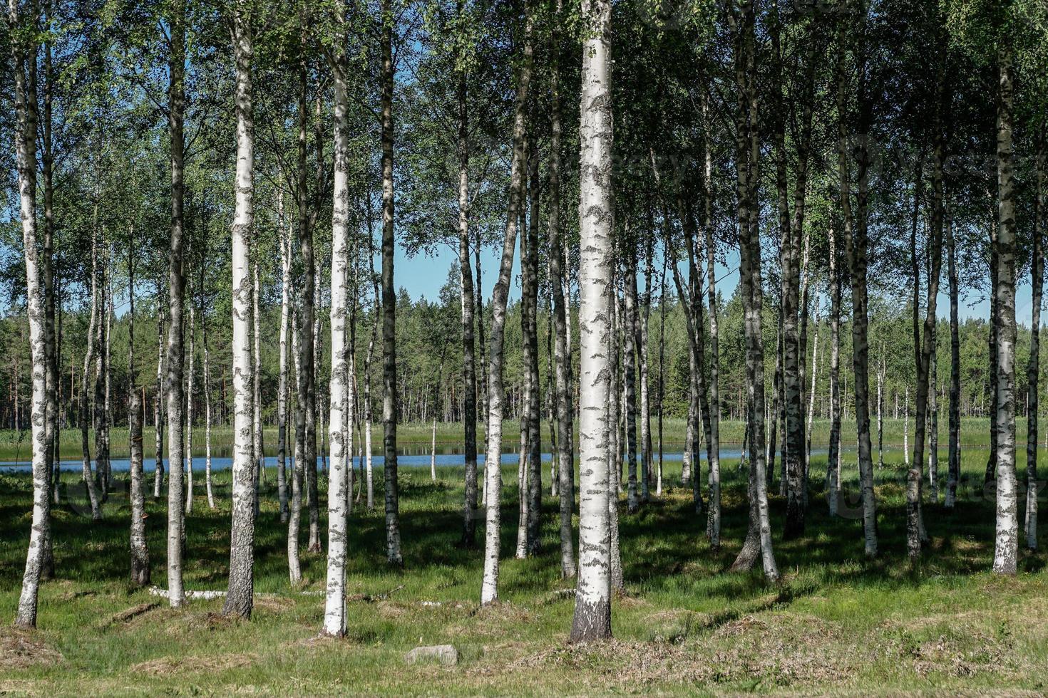 bosco di betulle nel periodo estivo foto