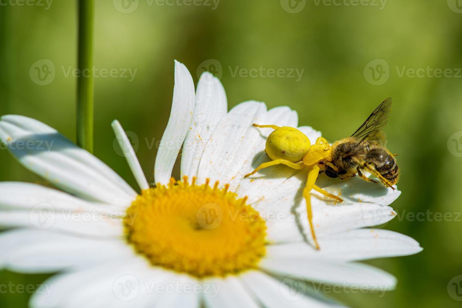 ragno granchio giallo con un'ape su un fiore di margherita foto