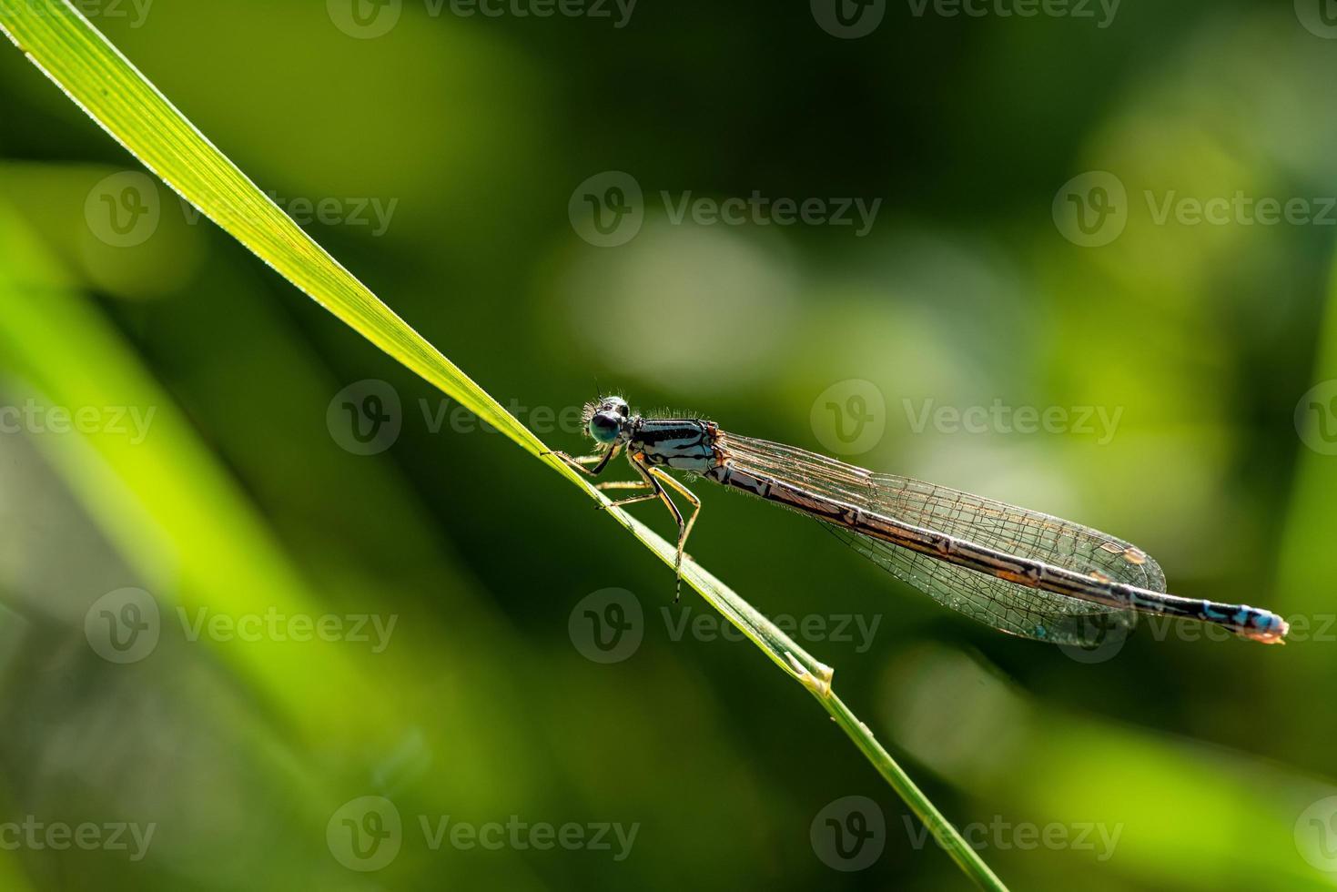 primo piano di una libellula su un filo d'erba foto