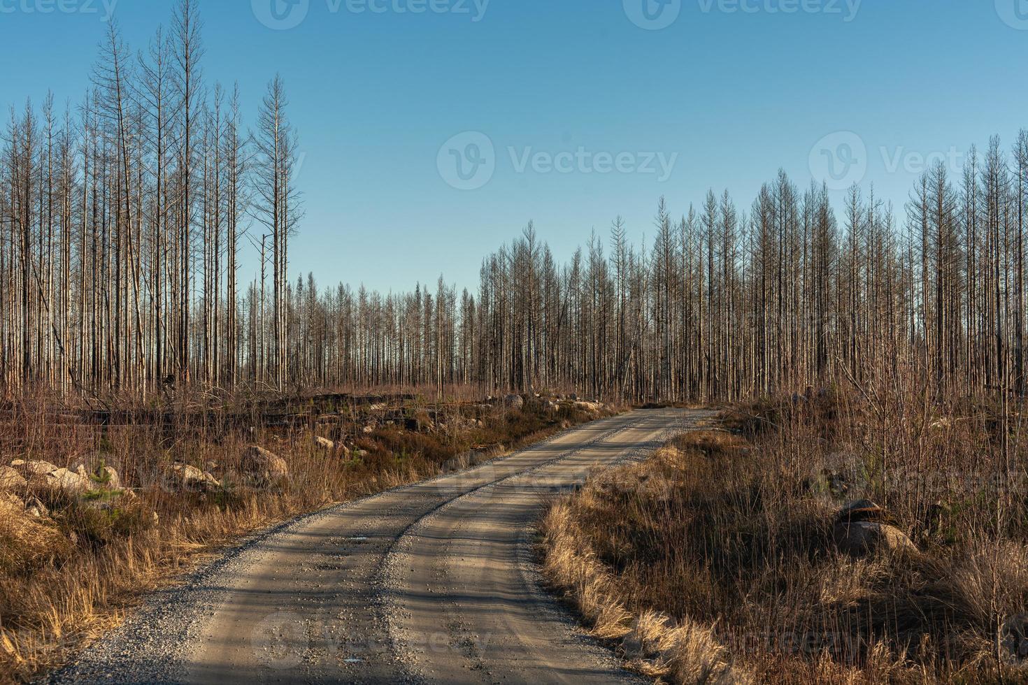 piccola strada che attraversa una foresta morta devastata da un incendio boschivo foto