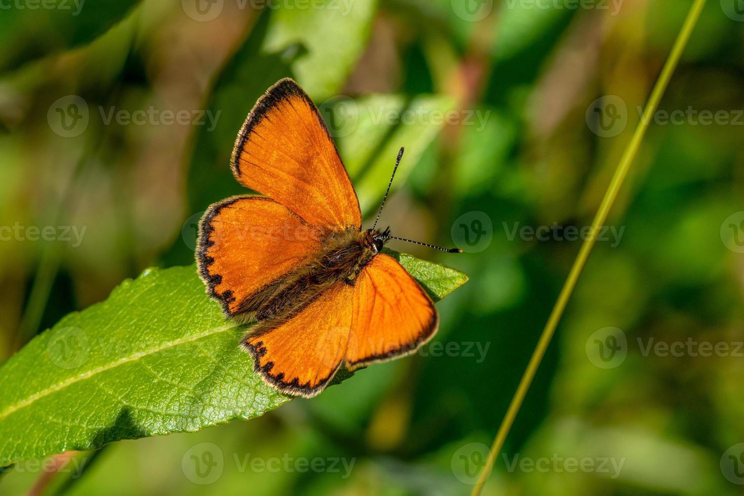 farfalla di rame seduto su una foglia verde foto