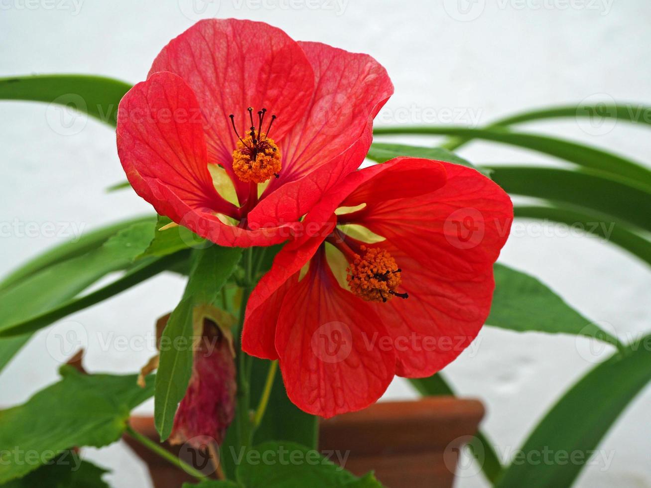 bellissimi fiori abutilon rosso brillante con uno sfondo bianco foto