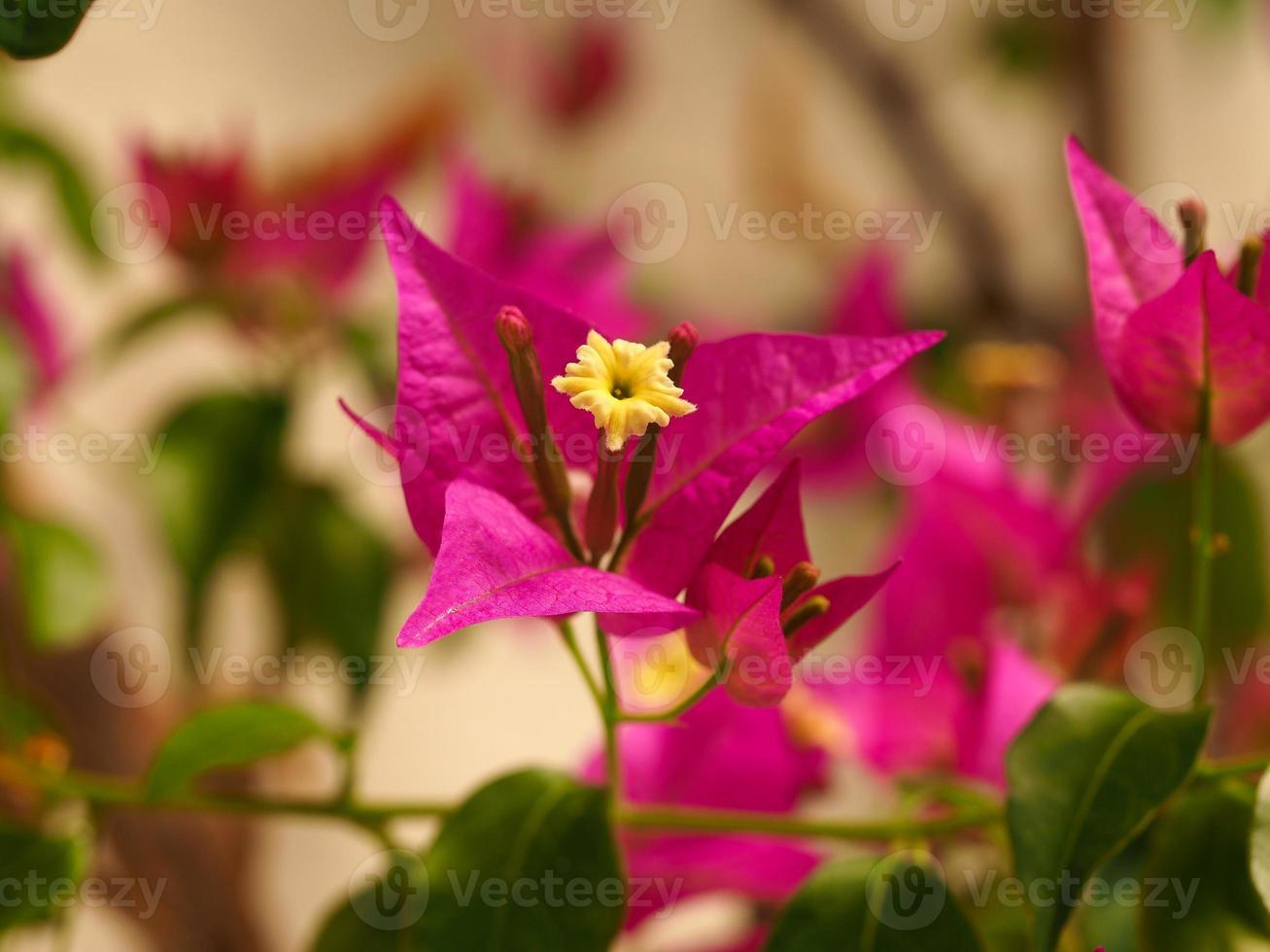 bel fiore giallo e brattee rosa di bouganville glabra foto