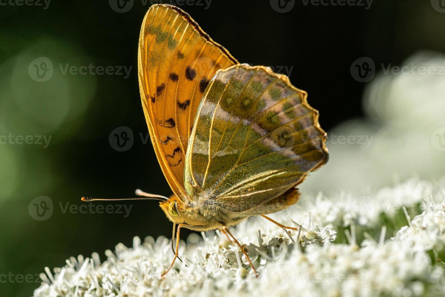 primo piano dettagliato di una farfalla fritillary lavata d'argento alla luce del sole foto