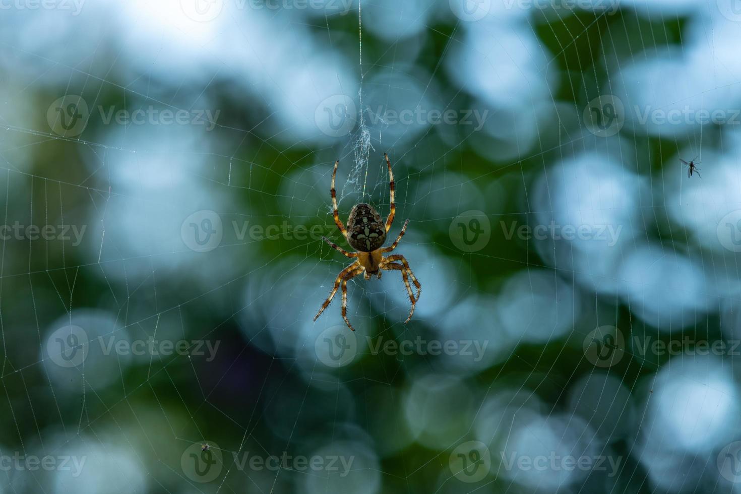 ragno da giardino con sfondo bokeh foto