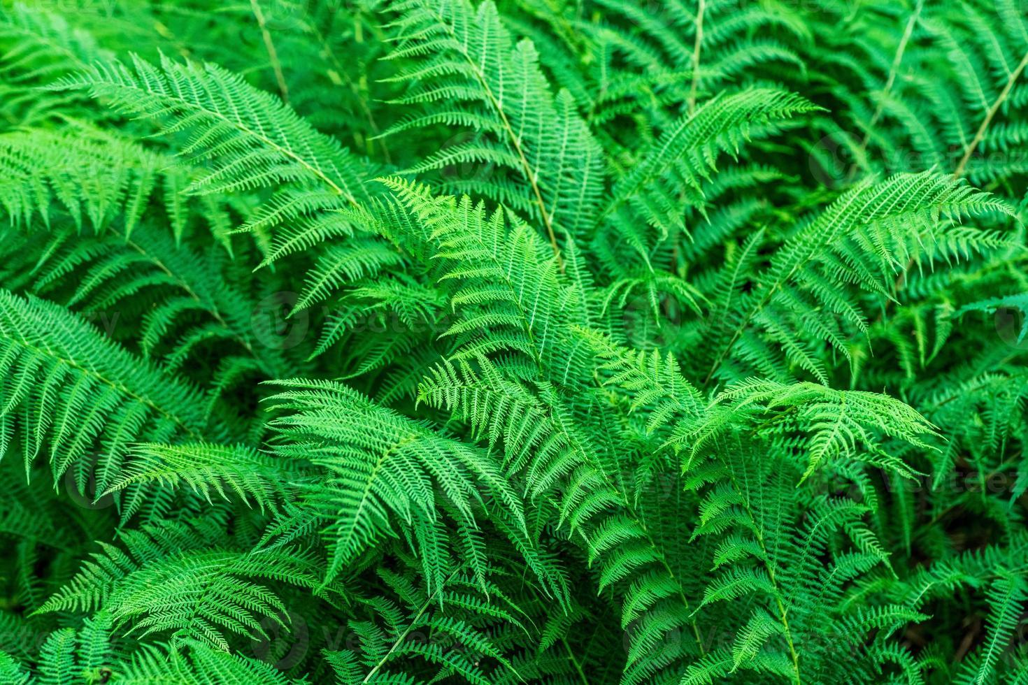 foglie di felce verde vibrante foto