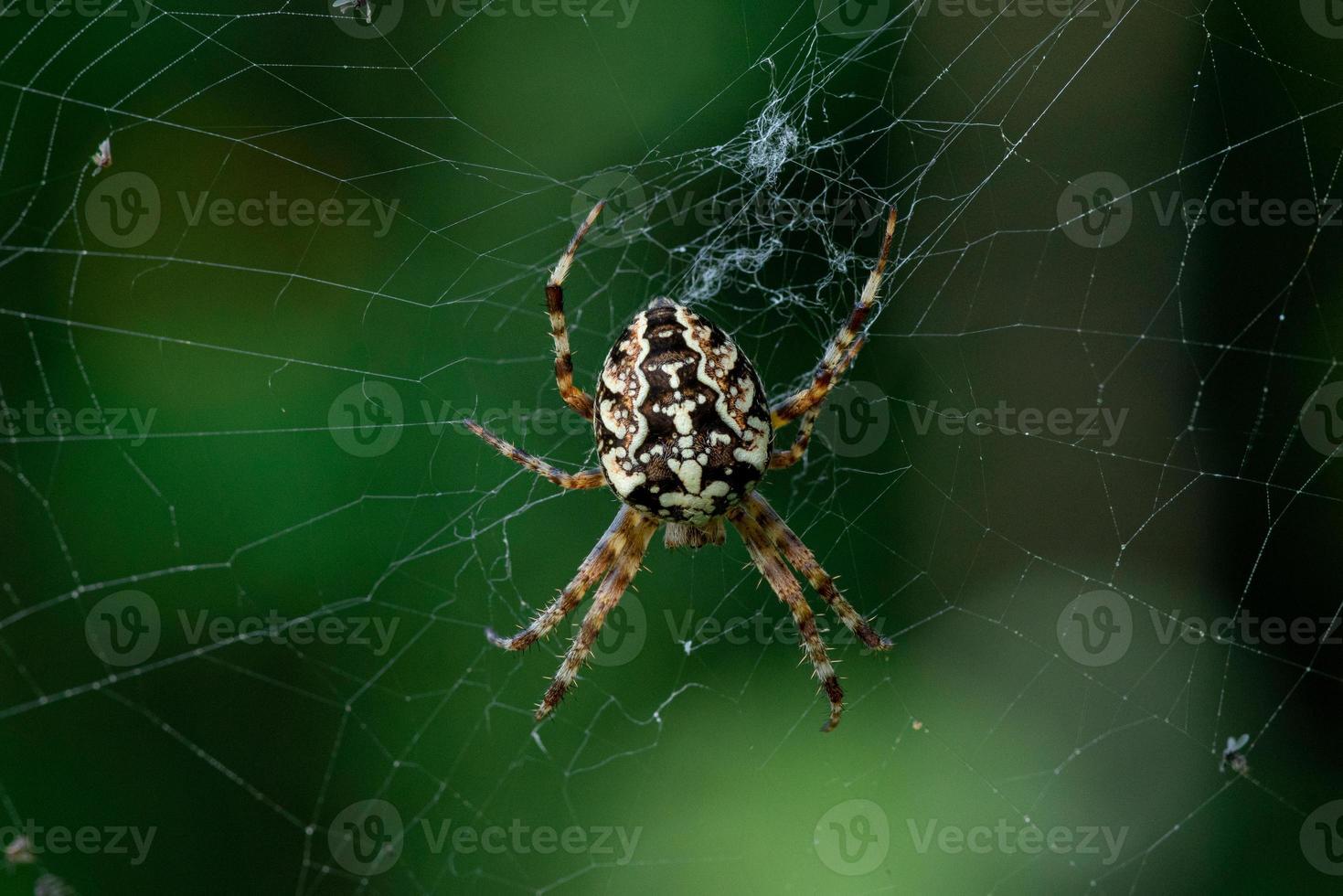 grande ragno da giardino sul web foto