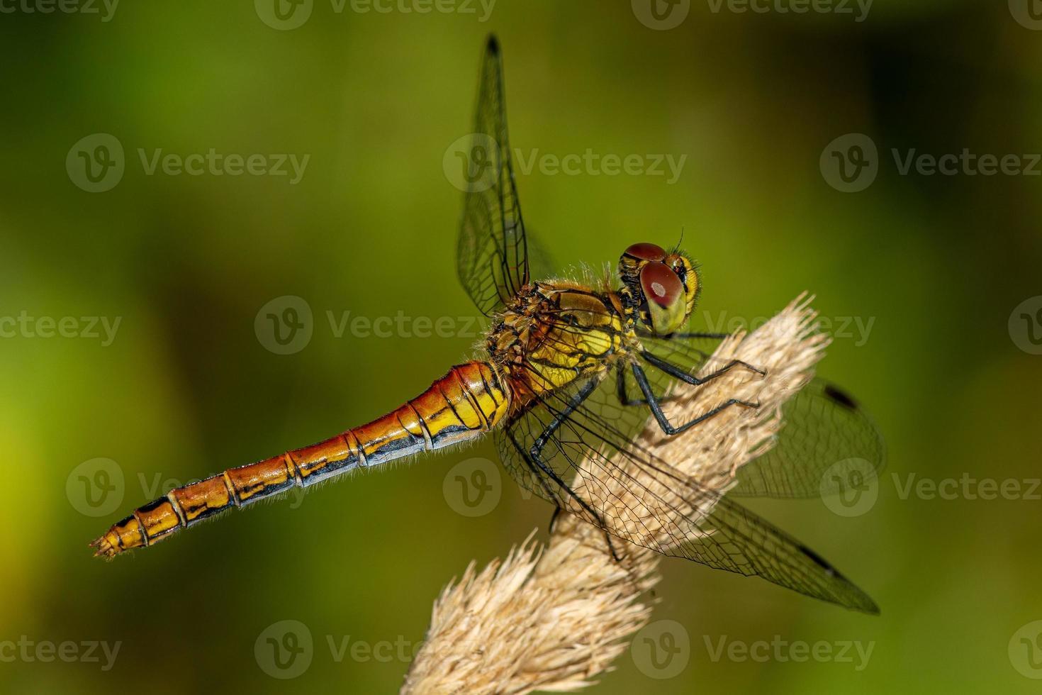 primo piano di una libellula rossa e gialla in pieno sole foto