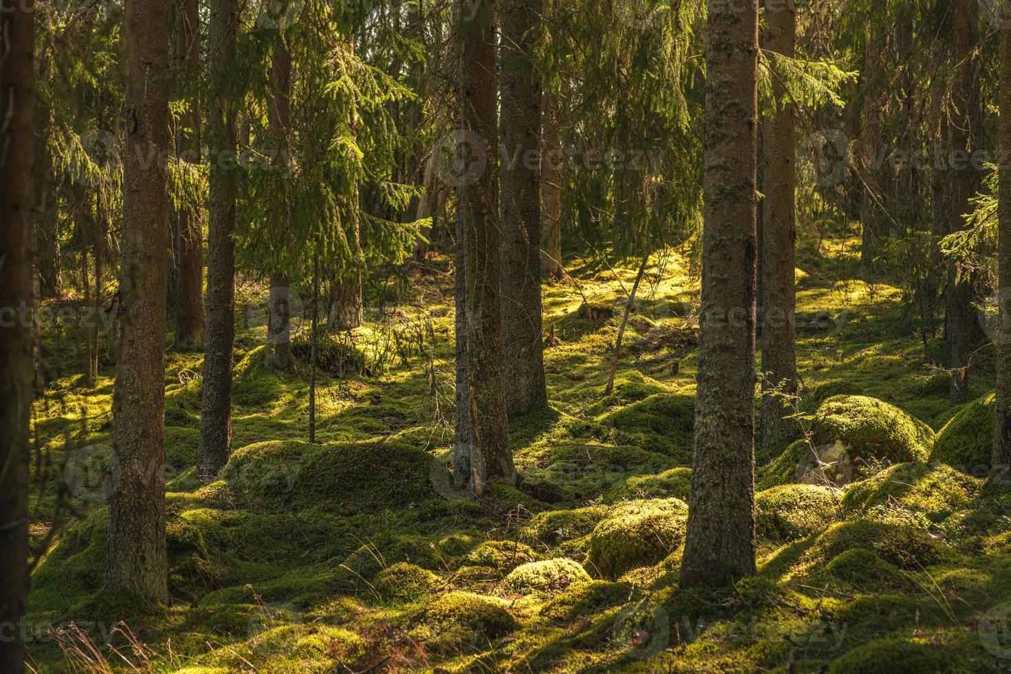bellissima foresta di pini e abeti in Svezia foto