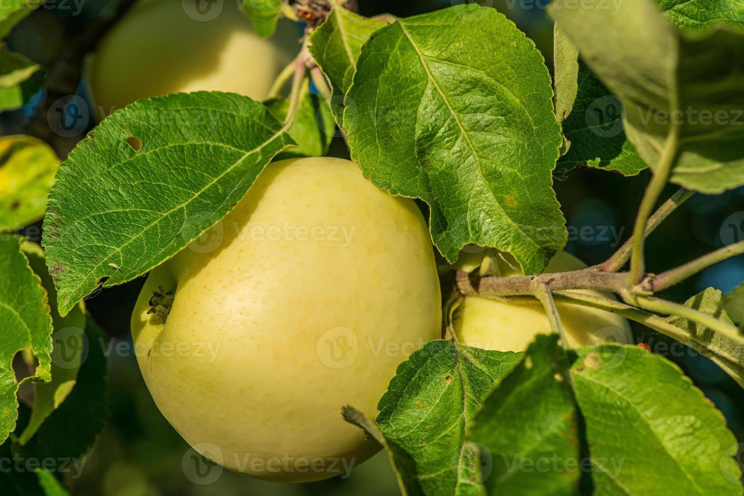 primo piano di una mela gialla che cresce su un albero foto
