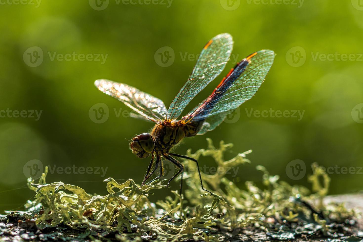 primo piano di una libellula rossa in pieno sole foto