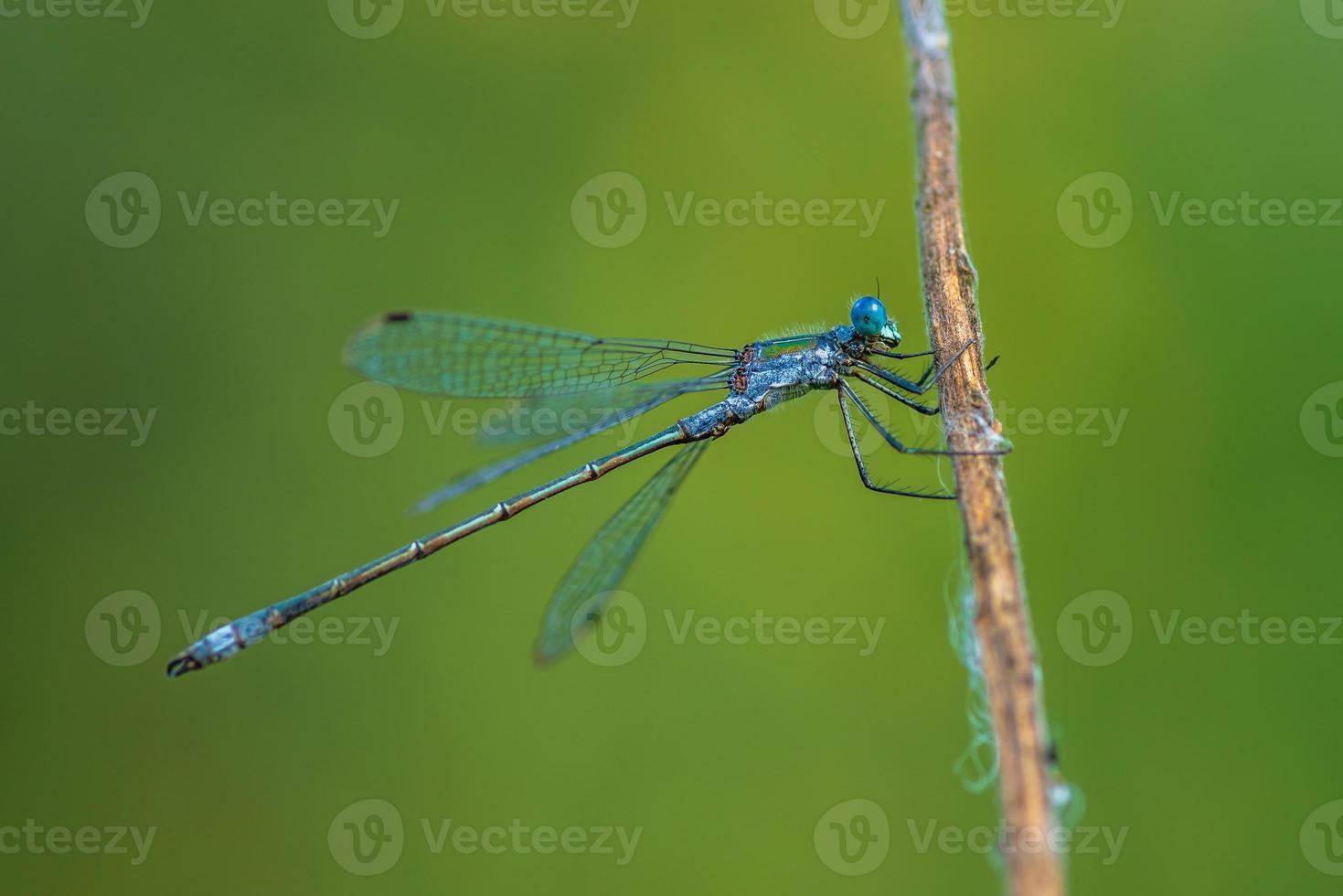 primo piano di una libellula blu con grandi occhi azzurri foto