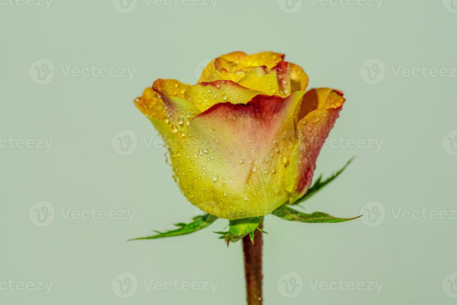 una sola rosa gialla e rossa ricoperta di umidità foto
