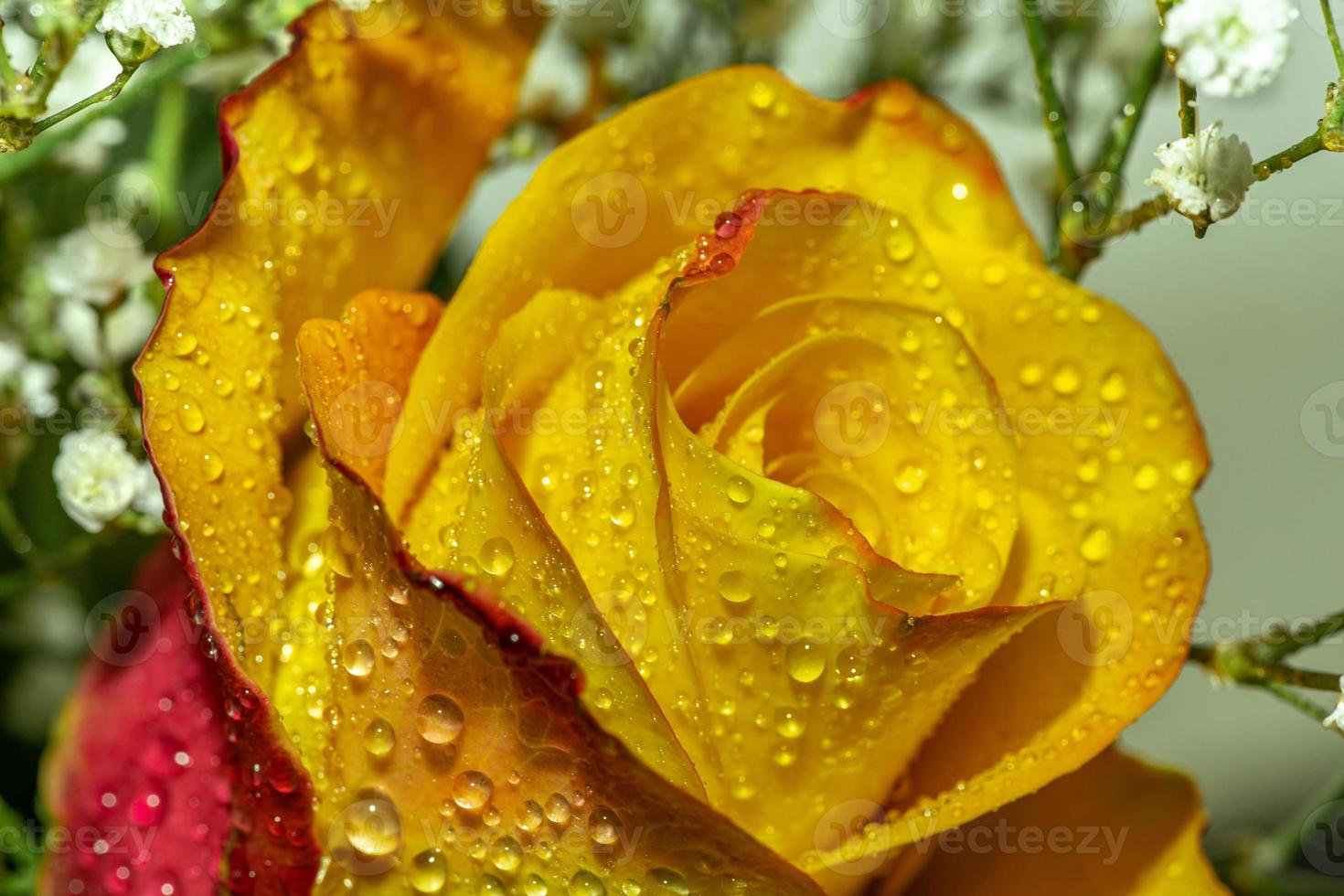 Primo piano di una rosa rossa e gialla con gocce d'acqua foto
