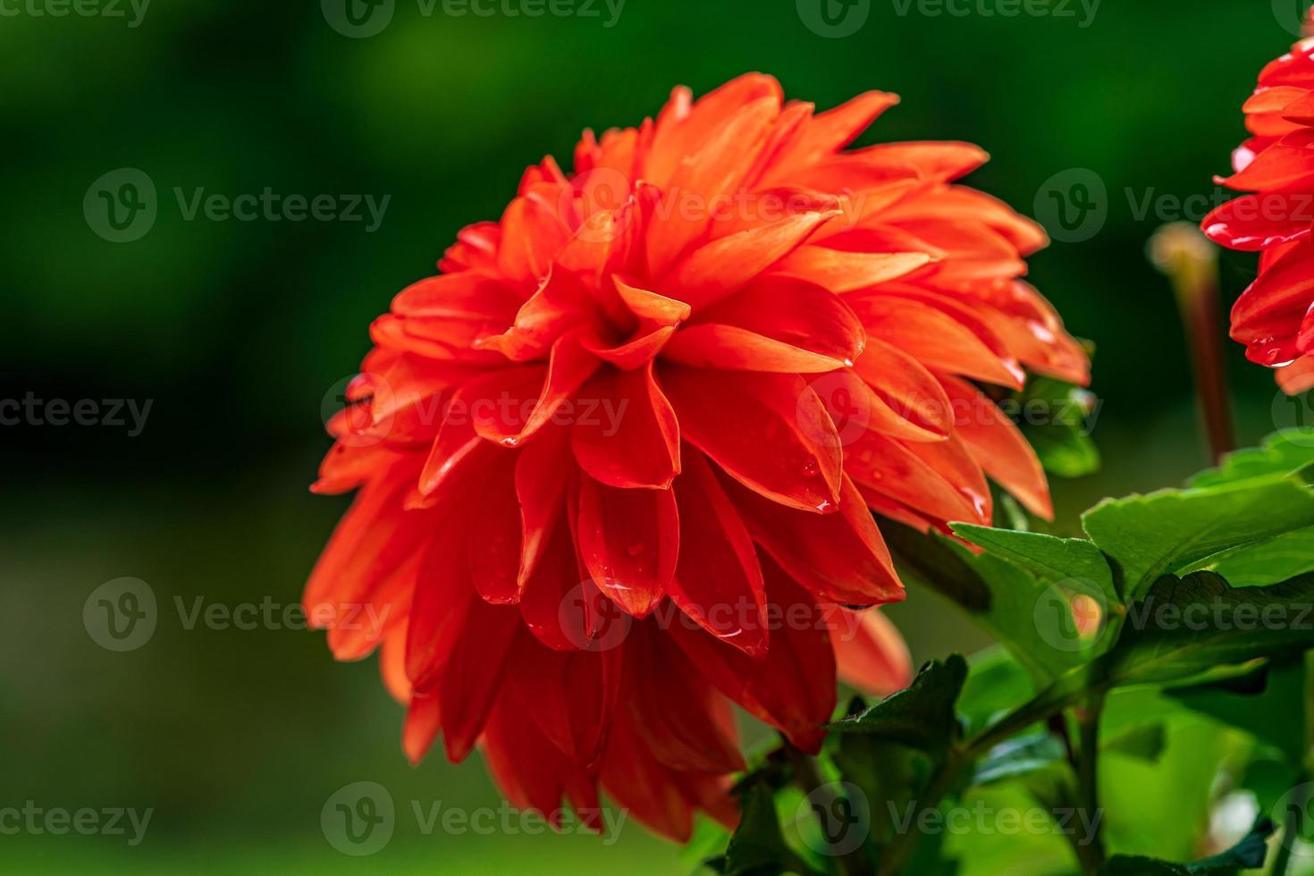 Close up di un unico vibrante fiore rosso dalia alla luce del sole foto