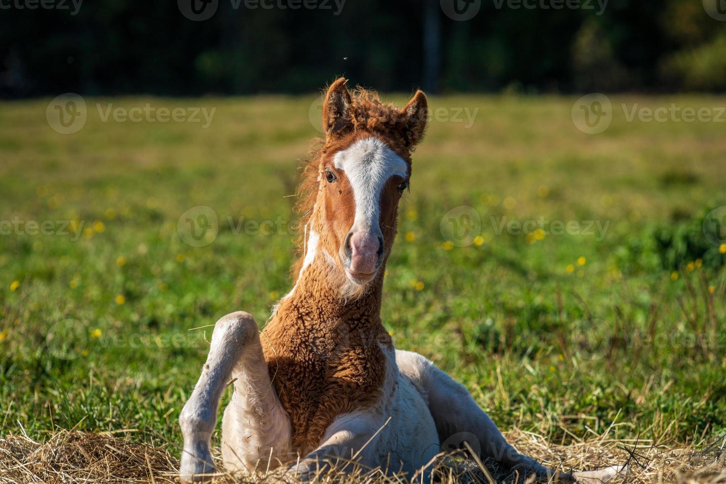 simpatico puledro cavallo islandese in procinto di alzarsi in posizione eretta foto